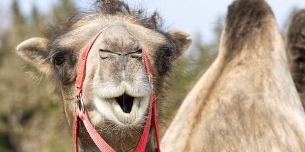 Camel with a surprised look on its face.